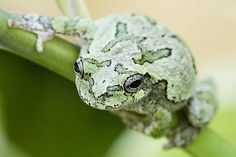 Street photography grey Tree frogs, Tree frogs flower, Tree frogs cute, Tree frogs on branch. Gray Tree Frog, Red Eyed Tree Frog, Tree Frog Facts, Tree Frog Tattoos, Tattoo Tree, Frog Outline, Tree Frog Terrarium, Frog Sketch, Frog Tank