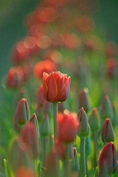 """A Morning At The Field"" - 2011 Skagit Valley Tulip Festival, Mt. Vernon, Washington......bokeh"