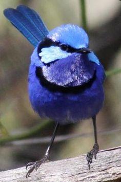 Splendid Fairy Wren Bird - What a beautiful blue bird! Kinds Of Birds, All Birds, Little Birds, Love Birds, Pretty Birds, Beautiful Birds, Animals Beautiful, Cute Animals, Exotic Birds