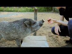 American Mini Pig Association was created to educate, advocate, protect miniature pigs, improve breeding practices. Miniature Pigs, Mini Pigs, Pet Pigs, Little Pigs, Farm Life, Farm Animals, Homestead, Muffins, Barn