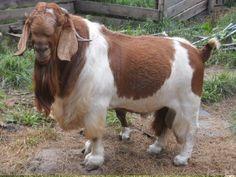 Сначала я не думала о том, каким образом развивать наше племя, и зачем надо из веселого «дворового» контингента создавать бурских коз. Мы и так веселые, красивые (каждая по своему), местами мясистые. Живи, Крестьянин, и радуйся нашему племени. Со временем наши дети Cute Goats, Cow, Animals, Animales, Animaux, Cattle, Animal, Animais