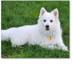 American Eskimo Dog | Learn All About the Breed | Havahartwireless.com