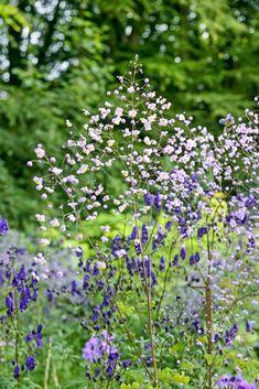 Claus Dalbys romantiske hage, blomster og roser. Fiolfrøstjerne, Thalictrum…
