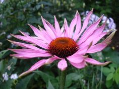 How echinacea boosts the immune system