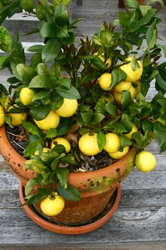 Learn about 5 best citrus trees for containers as Growing Citrus in Pots is not difficult due to their small height and low maintenance! Potted Fruit Trees, Fruit Trees In Containers, Citrus Trees, Lemon Tree Potted, Indoor Lemon Tree, Citrus Fruits, Lemon Plant, Meyer Lemon Tree, How To Grow Lemon