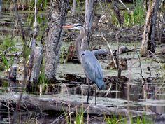 heron in the swamp