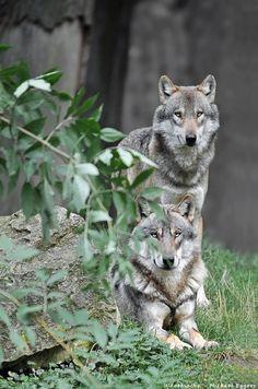 Artic wolves  ~  Michael Eggers