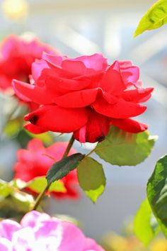 Favorite May Flowers. Red Rose. Flower photography by Mademoiselle Mermaid.