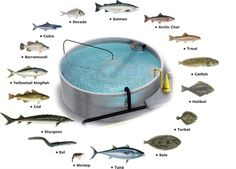 Have you heard of aquaponics? Aquaponics Combines the Growing of Fish and Plants You may grow plants in water and without soil and once one does this together with growing fish you are practicing aquaponics. Aquaponics System, Aquaponics Greenhouse, Hydroponic Farming, Aquaponics Plants, Fish Farming, Backyard Greenhouse, Vertical Farming, Halibut, Urban Farming