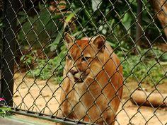 Puman - Zoológico de São Paulo - photo by Renato Aguiar