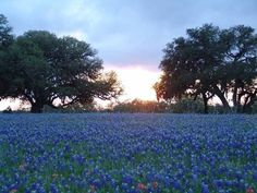 bluebonnets... i love Spring in Texas