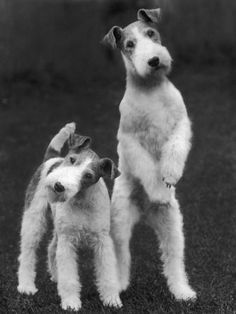 Wire hair fox terrier look like my Watson and Sherlock!!!!! Double trouble darlings!
