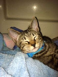 """From Holly: """"Atticus as kitten last year-he loves to nurse on favorite blanket currently-- Rescue from SPCA. Very loving cat, grateful to have him!""""  November makes us think of changing weather and gray skies. With that in mind we celebrate gray cats this month! Send us your photos and stories to catfaeries@catfaeries.com with these words in the subject line: Gray Cat"""