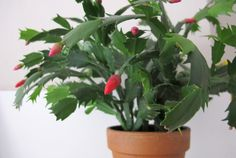 20 Tips to Get Your Christmas Cactus to Bloom During the Holidays Christmas Cactus Plant, Flower Pots, Indoor Plants, Plants, Zygocactus, Flowers, Cactus Care, Container Gardening, Growing Plants