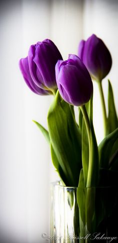 Tulips and other spring bulbe can be grown at any time of the year when grown in glass jars providing they spent 8 to 10 weeks hibernating in your refrigerator. Start them sequentially to enjoy a long 'season'. They make great gifts! #Spring_Bulbs #Tulips