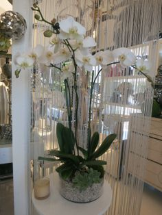 Californian Orchid - Succulent Accent