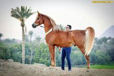 Egyptian Arabian colt