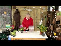 How to look after streptocarpus   Hayes Garden World - YouTube