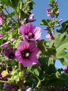lavatera | Tree Mallow - Lavatera arborea | Flowers | Pinterest