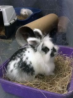Black and white Lionhead Rabbit                                                                                                                                                                                 More