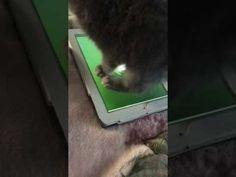 Il gatto che gioca con l'iPad - YouTube