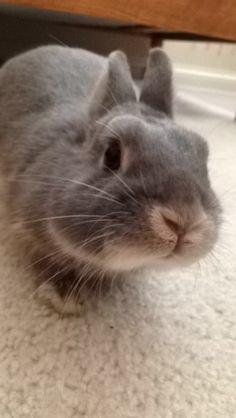Chubby cheeks on my netherland dwarf bunny