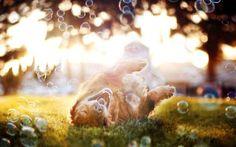 草の上に寝転がって遊ぶ犬とシャボン玉の綺麗な写真壁紙