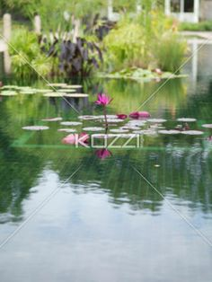 water lily in pond. - View of pink water lily in pond.