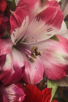 Alstroemeria #flowers