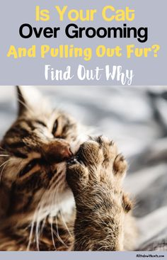 Over grooming in cats can be a result of many things. Find out what they are and how you can stop your cat pulling out fur. Cat Care Tips, Pet Tips, Dog Care, Cat Skin, Homemade Cat Toys, Cat Enclosure, Reptile Enclosure, Cat Allergies, Cat Bath