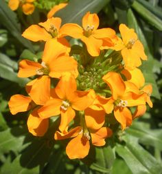 Erysimum is one of the sweetest smelling plants....