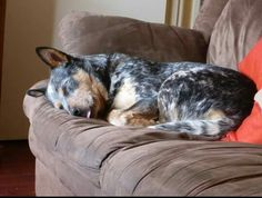 Look at that tongue! Aussie Cattle Dog, Austrailian Cattle Dog, Aussie Dogs, Cattle Dogs, Blue Heelers, Dogs And Puppies, Doggies, Dog Rules, Cute Little Animals