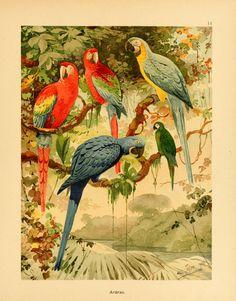Album de aves amazonicas,.  Zürich :Impressão do Instituto Polygraphico a.g.,1900-06.  Biodiversitylibrary. Biodivlibrary. BHL. Biodiversity Heritage Library.