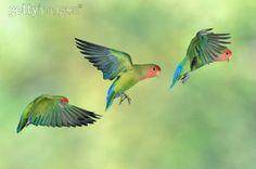 Peach Faced Love Birds (Agapornis roseicollis) in flight. Native to S. West Africa Namib Desert