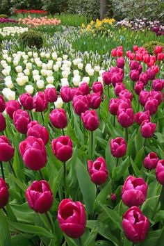 Purple Tulips.  http://publicdomainpictures.net  FREE PUBLIC DOMAIN PHOTO'S TO USE AS YOU LIKE.