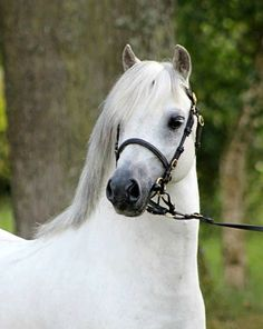 Welsh Mountain Pony section A stallion, Ysselvliedts Shy Rebel. Portrait.