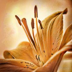 Fotografías para decorar. Flor astromelia de Wifred Llimona. http://www.lallimona.com/foto/flora/