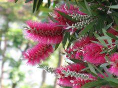 5月27日【ブラシノキ(ブラシの木)】学名:Callistemon speciosus別名:カリステモン、ハナマキ(花槙)、キンポウジュ(金宝樹)形態:常緑樹 樹高:小高木分類:フトモモ科花色:赤色(ときに白色)使われ方:庭木などとして使われています。花の後に実がなりますが山火事にあうまで木についたまま種子を出さない。山火事にあって木が死んだら、実が割れて種子が飛び散る性質があると言われます。