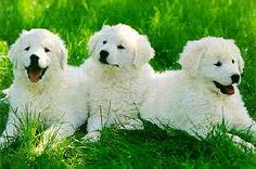 kuvasz ... the first puppy i bought for myself ...