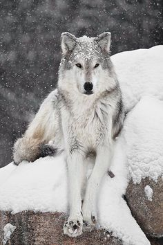 Wolf in snow by C. Dubois