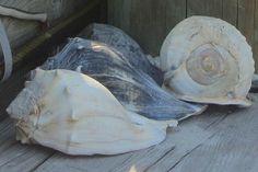 Shells of Portsmouth Island