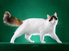 1def36507f70b8 Turkish Van Cat - semi-long with cashmere-like texture  soft to the roots  with no trace of undercoat  allowances made for seasonal coat length  changes  ...