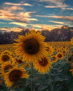 Sunflowers At Sunset, Jarrettsville, MD