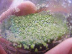 Phalaenopsis spot: Home flasking vs. lab flasking !