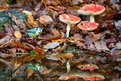 A Blue tit at the side of a woodland pool in Autumn with Fly agaric mushrooms in the background, showing its reflection in the pool Winter wildlife, Corwen, Wales - 24 Nov 2014
