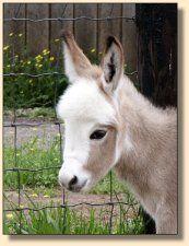 baby donkey – What a pretty baby! Minature Donkey, Pet Donkey, Mini Donkey, Pretty Horses, Beautiful Horses, Animals Beautiful, Cute Baby Animals, Animals And Pets, Wild Animals