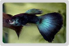 Beautiful specimen of Moscow Blue Guppy Fish (poecilia reticulata)