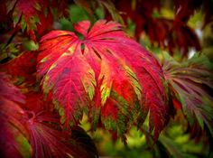 Dancing Peacock Fern Leaf Japanese Maple.  3 - Year Live Plant
