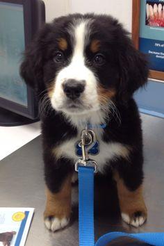 Bernese Mountain pup!!