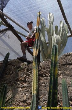 White ghost good luck cactus variegated african milk tree for Vivero feroxcactus